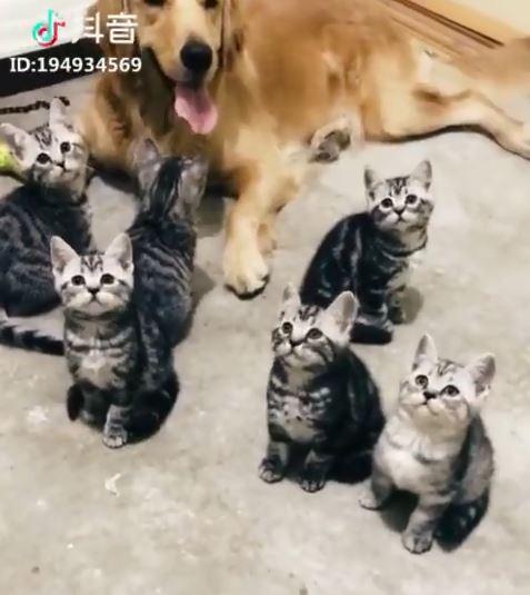 大家都在玩逗貓棒,你怎麼不專心! 小貓只對金金有興趣:這片是什麼~
