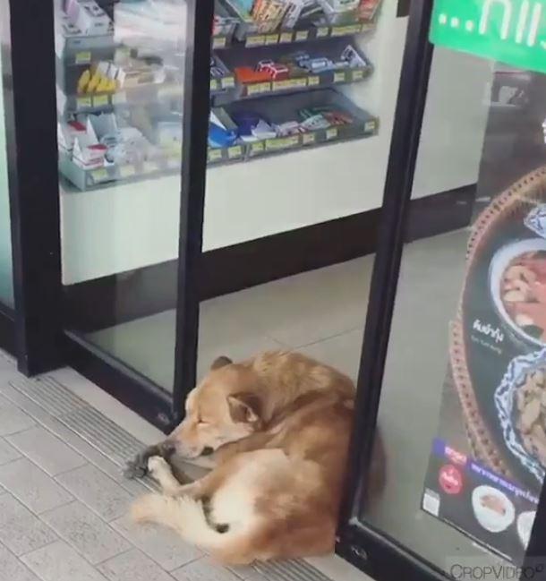 超商「自動門狂擠壓」熟睡黃狗 牠「當作不知道」繼續睡到翻掉