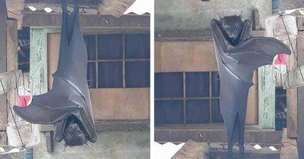 屋簷驚見1.7公尺「超巨型怪物」倒吊 網友嚇傻:德古拉?