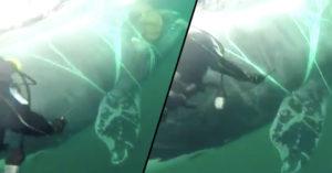 影/4公尺鯨魚「被魚網纏住」痛苦掙扎 智利海軍拿刀救援:網子為何不帶走?
