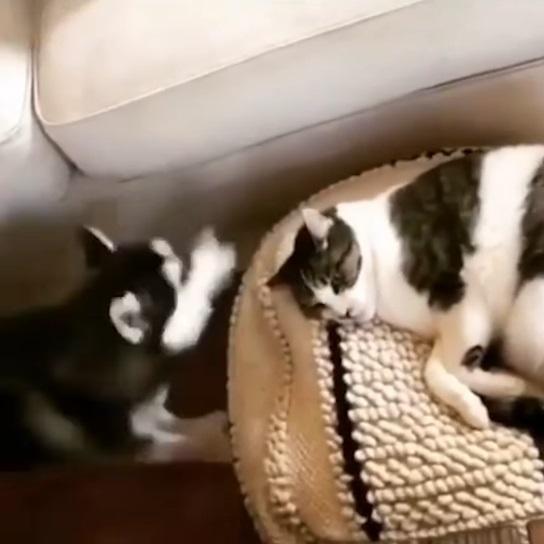 嘎拎北起來噢!貓皇穩坐寶座睡懶覺 神煩月月偷打喵頭:陪我玩咩~