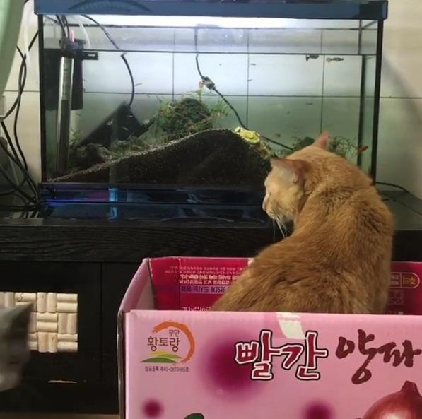 魚兒水中游~小貓每天看著魚缸發呆 回頭瞄一眼主人:我只是在等對的時間加菜