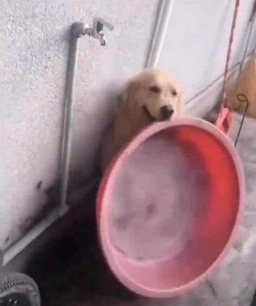 聰明阿金叼臉盆找主人洗澡卻被忽視 嘴腳並用打開水龍頭:哼!我自己洗~