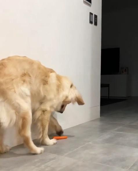 媽媽,有狗在玩食物! 金金打胡蘿蔔「整根飛起來」:反正偶沒有要吃呀~