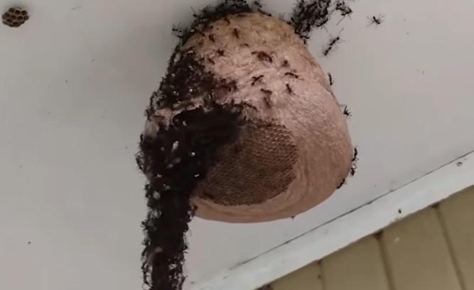 影/最暗黑團結!螞蟻群搭建「 U型黑橋」 突破蜂巢:兄弟們該填飽肚子了