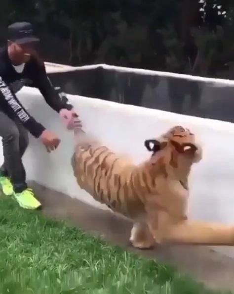 老虎跟人玩躲貓貓!黑人老兄躲身後猛一嚇 瞬間「跳跳虎上身」:嚇掉我的毛~