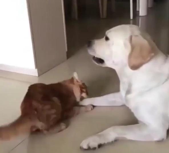 貓屁孩瘋狂逗弄犬哥「陪我玩嘛~」 拉拉淡定:暑假還有多久…