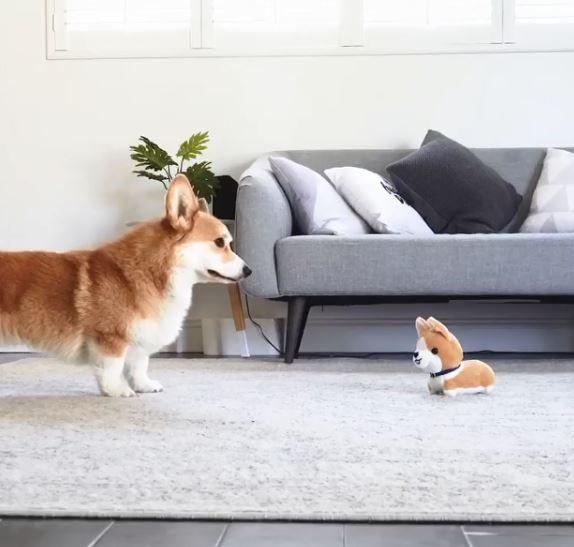 家裡來了新朋友~ 柯基「眼神緊盯不爽推倒」:怎樣,他先惹我的!