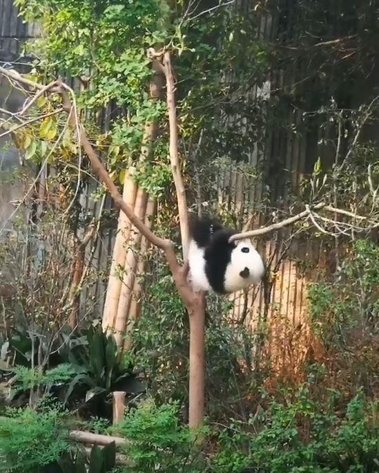 小熊貓爬樹枝玩耍 被肥短腿出賣「秒變吊單槓」:管理員快來救我啊~