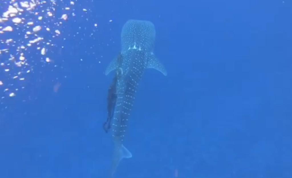 漁網漸漸切進身體...潛水看見「巨大鯨鯊游不動」 他耐心解開讓美麗生物重獲自由