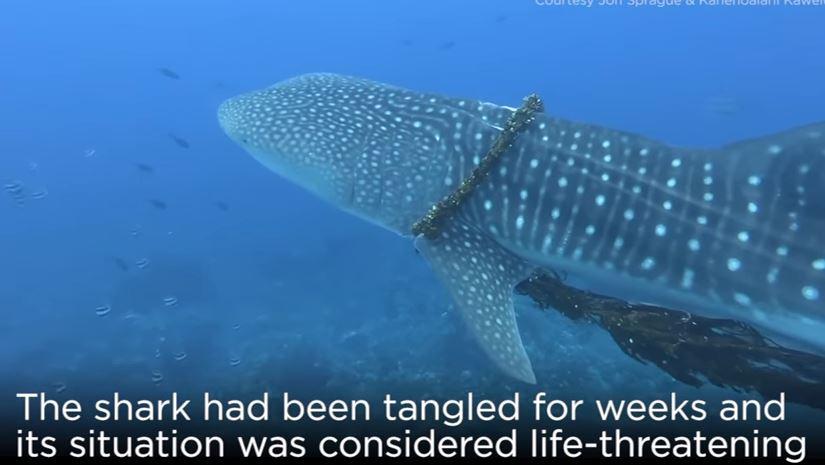 影/鯨鯊深海悠游「卻被套圈圈」 潛水夫割開巨繩:那是人類的垃圾環