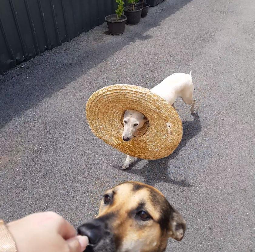 調皮汪把阿姨最愛的草帽「穿洞」 邊跑邊晃:我是一顆可愛的荷包蛋~