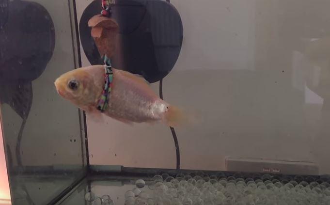 老金魚游不動沉缸底 主人心疼自製「漂浮環」讓他再次游泳