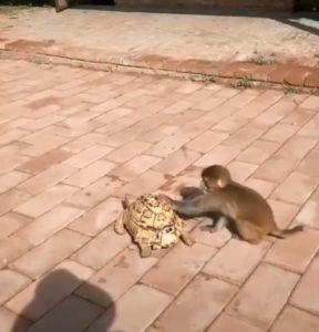 烏龜緩緩前進 急性子小猴受不了「出手幫忙推」:快點啦趕時間耶