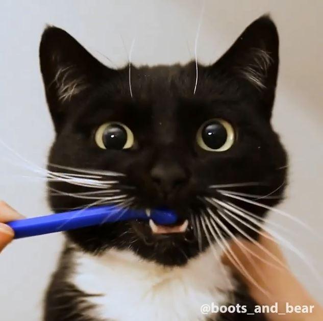 喵星人乖乖讓鏟屎官刷牙 嘴巴張開:要幫我刷乾淨喔~