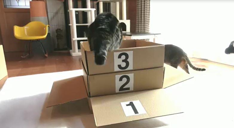 11歲喵星人玩「跳紙箱疊疊樂」 挑戰9層大魔王:本喵寶刀未老呢~