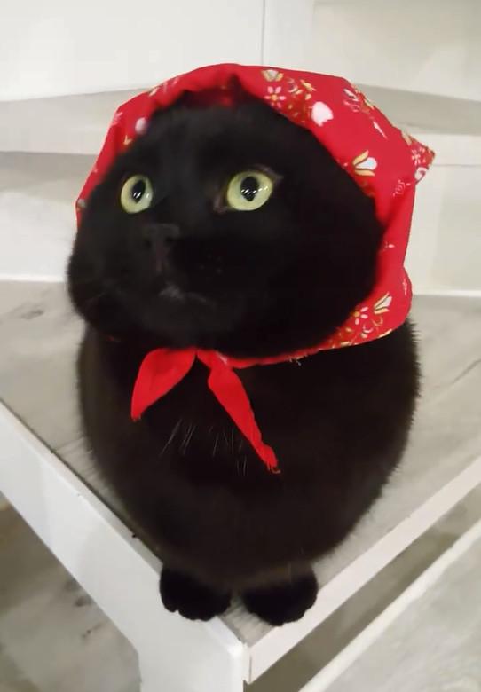 主人亂綁紅頭巾...「開喜喵喵」誕生!貓皇無奈:倫家比較可愛吧
