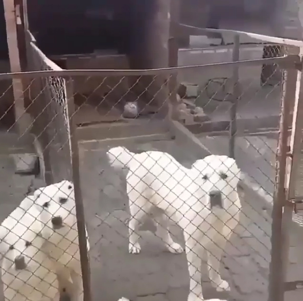 大膽貓皇挑戰不可能任務 超淡定「遊走大狗圍欄」:有種咬我啊~
