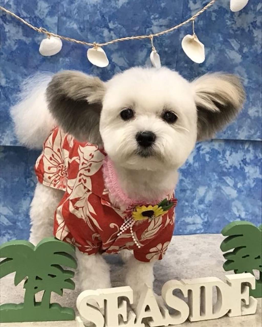 小白犬擁有「米奇大圓耳」 肚子餓就會使用超萌搧耳絕技:可愛度誰能贏我❤