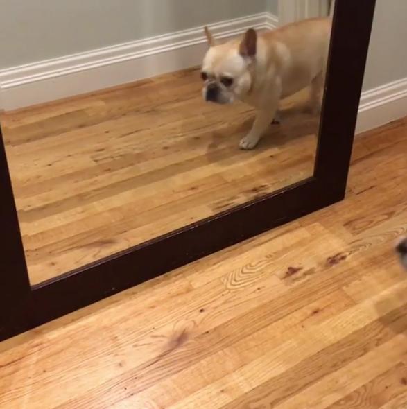 呆萌法鬥經過鏡子「被自己嚇到」 秒速彈開一臉驚恐:阿娘喂!