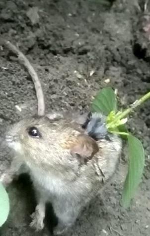 影/農夫田裡遇見「妙鼠種子」背上發芽15cm樹苗 專家呆了:能活是奇蹟啊!
