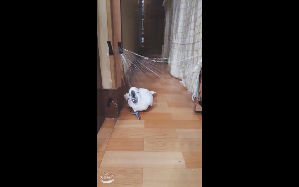 馬麻設隱形牆測試 聰明鸚鵡「暴衝後剎車」:看我來個凌波舞~
