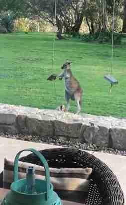 袋鼠想玩盪鞦韆「抓住繩子狂晃」上不去 耐心歸零生氣跳走:老子不玩了哼!