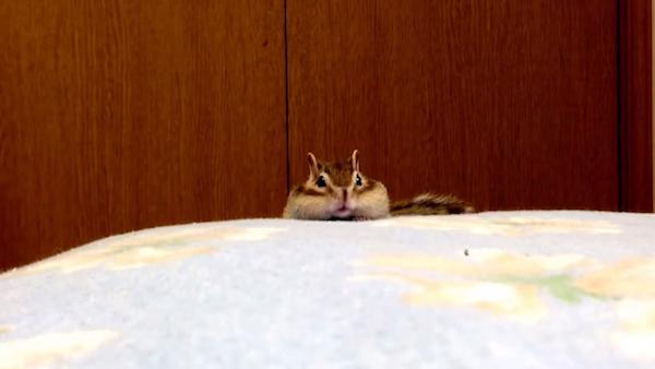小花栗鼠不想起床 打哈欠「伸展手手做早操」:好想再睡一下哦~