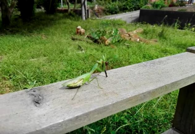螳螂耐心一步步接近蜻蜓 「0秒出手」快狠準捕獲開心享用大餐!
