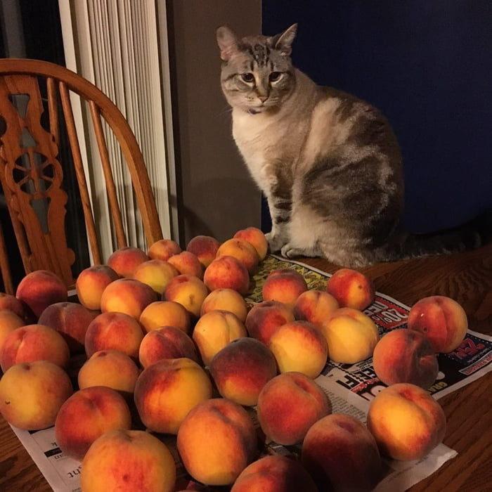 熱愛水蜜桃喵皇 每天窩在桃子堆中「守護貢品」:這些都是本王的不准搶!
