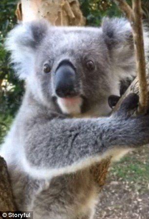 小無尾熊討摸完開心跳開 下秒直接「咚」撞上樹往後彈飛:我是誰我在哪??