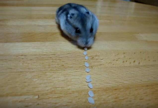 主人把米粒排直線 倉鼠化身「移動吸塵器」一粒粒清乾淨:還有哪裡要吸的都來!