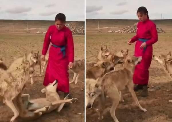餓狼等不及撲上搶點心吃 蒙古少女直接「反手過肩摔」制伏!