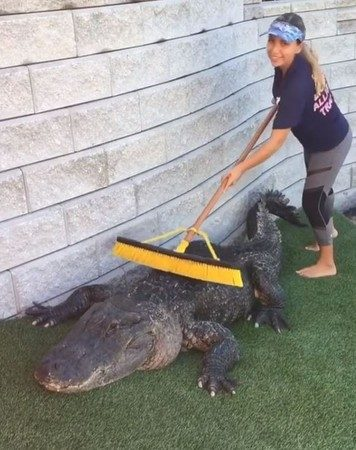 早上第7刷!正妹幫擦背 巨鱷享受頂級SPA服務「舒服到呼嚕」