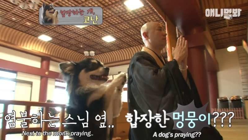 寺廟吉娃娃每天跟著和尚「合掌拜拜」 虔誠禱告超萌:佛祖請給偶多一點罐罐~