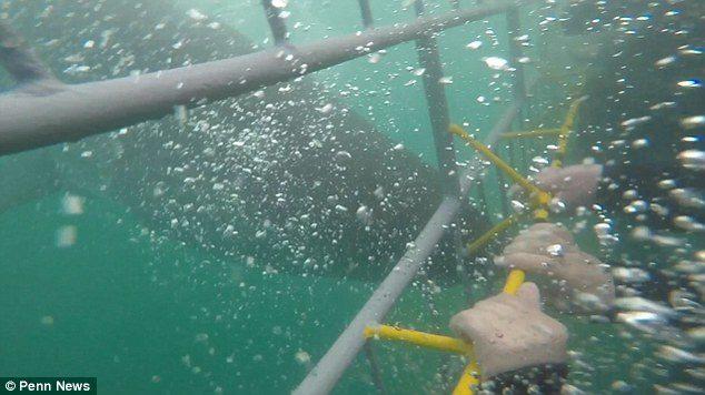遊客體驗鯊籠潛水 大白鯊見「食物」瘋狂衝撞上演《巨齒鯊》!