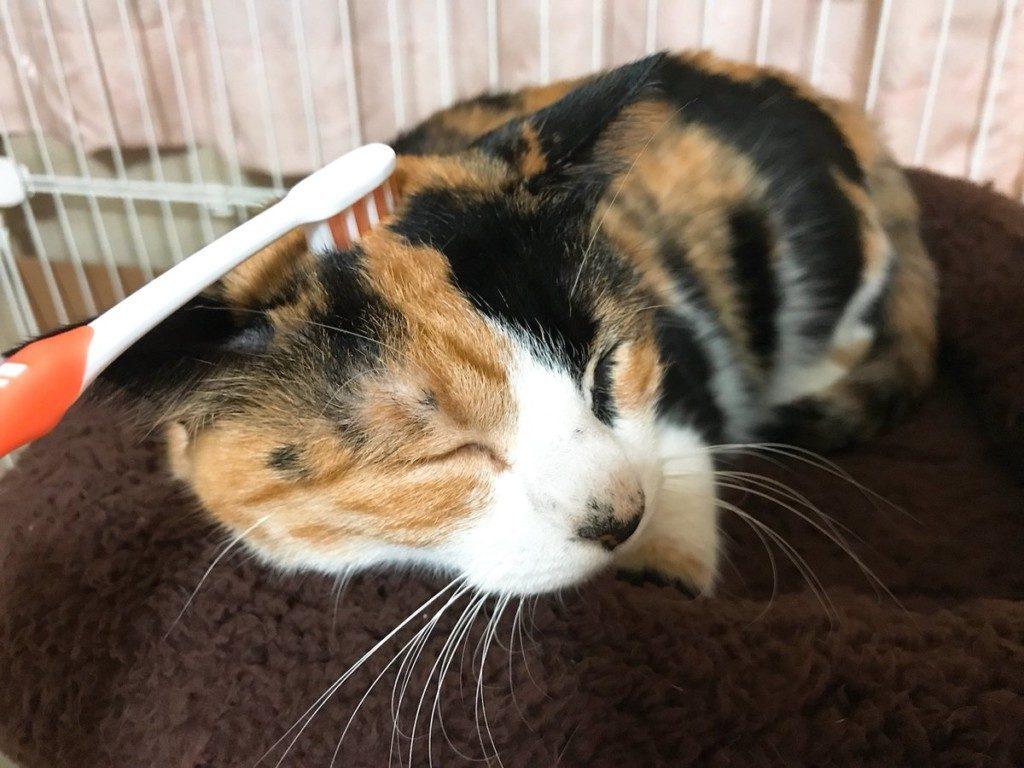 這、這是什麼舒服的港覺!「牙刷幫梳毛」貓皇沉醉:再左邊一點~