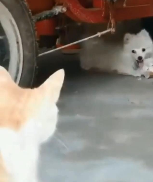 貓倫悲劇!綠帽貓夫直擊老婆偷客兄現場 老王博美:你老婆真水