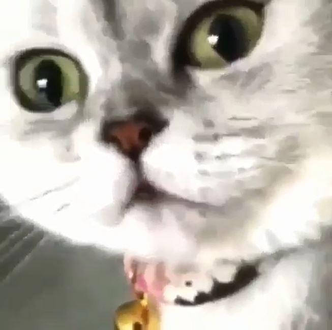 主人拿手機偷偷靠近 喵皇一轉頭嚇到飆罵:夭壽~嚇屬我惹!