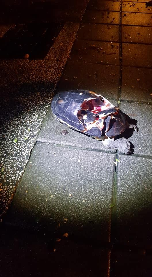 路中央驚見爆殼龜!他看「心臟還在跳」報警 正義魔人出動:關警察P事呢?