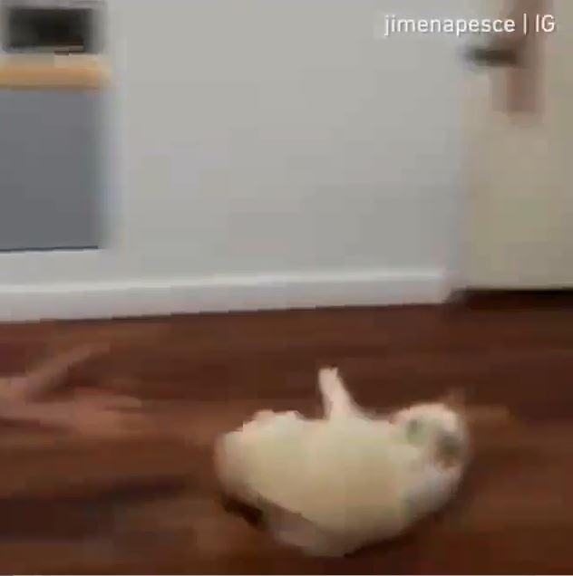 喵星人超愛玩「抹布滑地板遊戲」 主人丟完秒跑回躺下:再來一次!