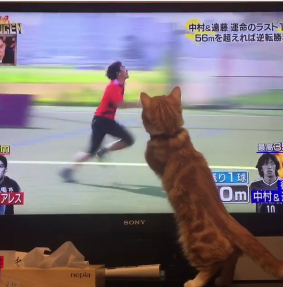 電視足球飛高高 喵皇站起來緊盯「頭跟著球一起晃」:我抓到你了~欸?