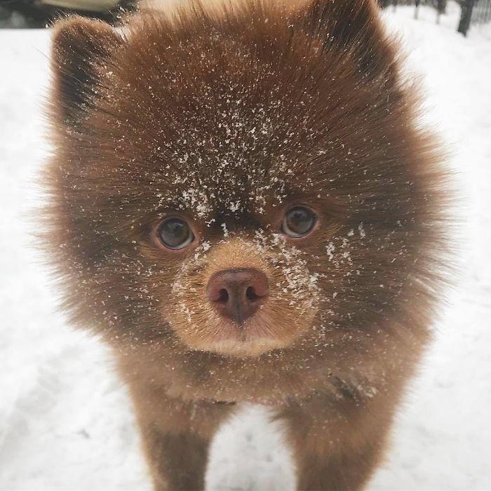 5個月小熊博美太大隻 主人丟棄路邊後「狗生翻轉」:媽~我出名了