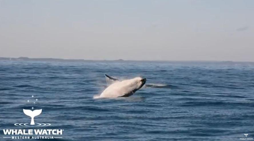 屁孩魚群「調戲鯨魚母子」 正義海豚「出手相救」畫面宛如偶像劇!