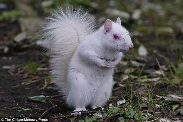 森林小精靈出沒!「白色松鼠」根本仙境才有 透亮紅眼睛美翻~