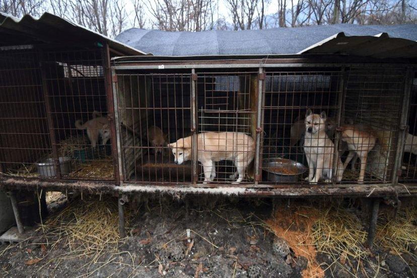 終結貓狗肉貿易!印尼政府「無狗肉計畫」超過90萬人聯署成功
