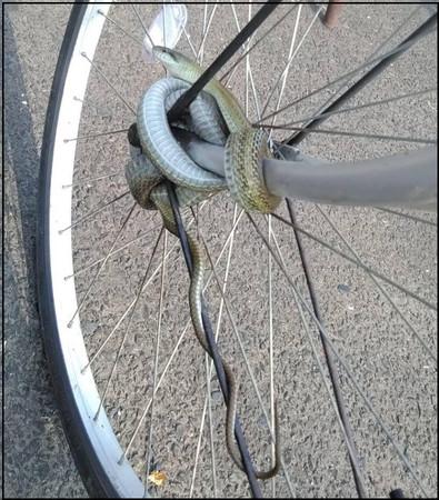腳踏車輪胎遭勾勾纏!牽車驚見「蛇頭鎖」嚇傻:請問…這鎖該怎麼解…