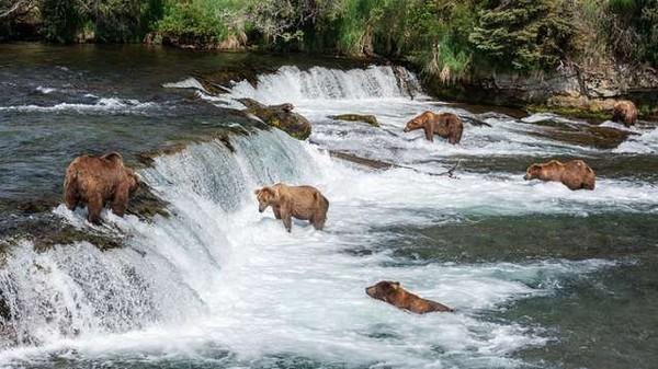 鮭魚洄游引熊熊家族覓食 白目哥踩水靠近自拍:他們好可愛哦~