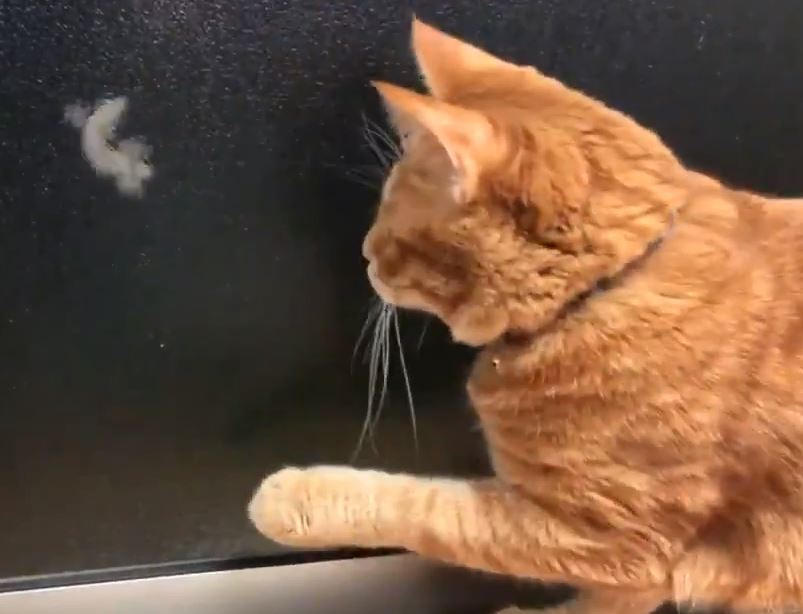 呆橘貓「緊盯窗外壁虎」想制伏 伸出肉球「抓不到」太爆笑!
