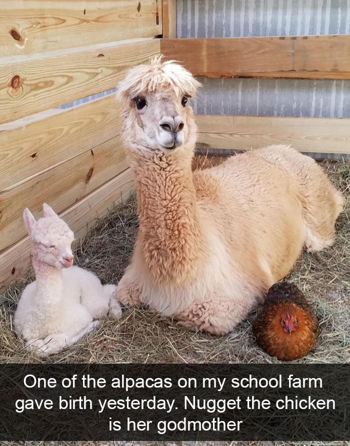 20張「超人性化」動物有趣照 羊生寶寶母雞通通來探望了~